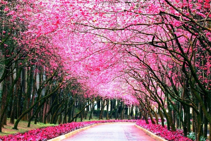 cherry-blossom-road